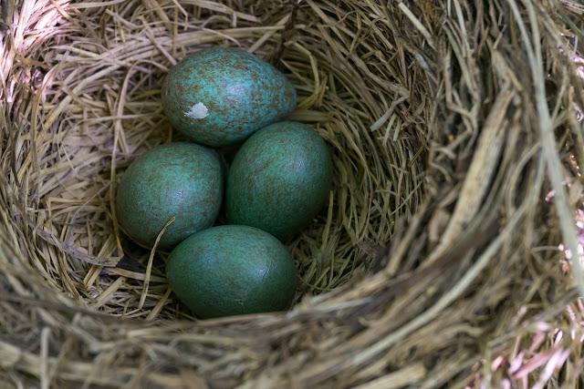 Голубые яйца дрозда.