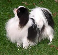 Japanese Chin Puppies on Japanese Chin Dog Pet Japanese Chin Dogs Puppies