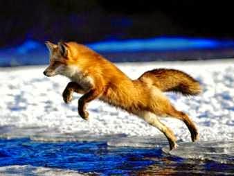 Zorro huyendo