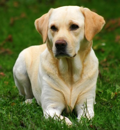 Labrador Retriever information and Pictures