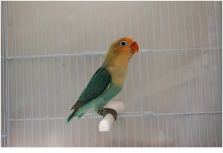 mengenal warna jenis lovebird