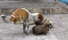 Cachorro pequeno tentando cruzar com uma cachorra maior que ele