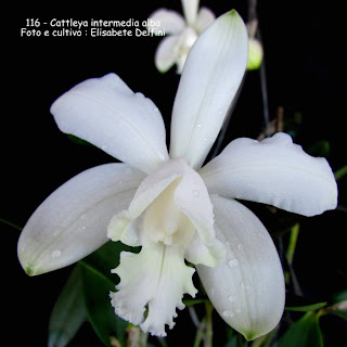 Cattleya intermedia alba  do blogdabeteorquideas