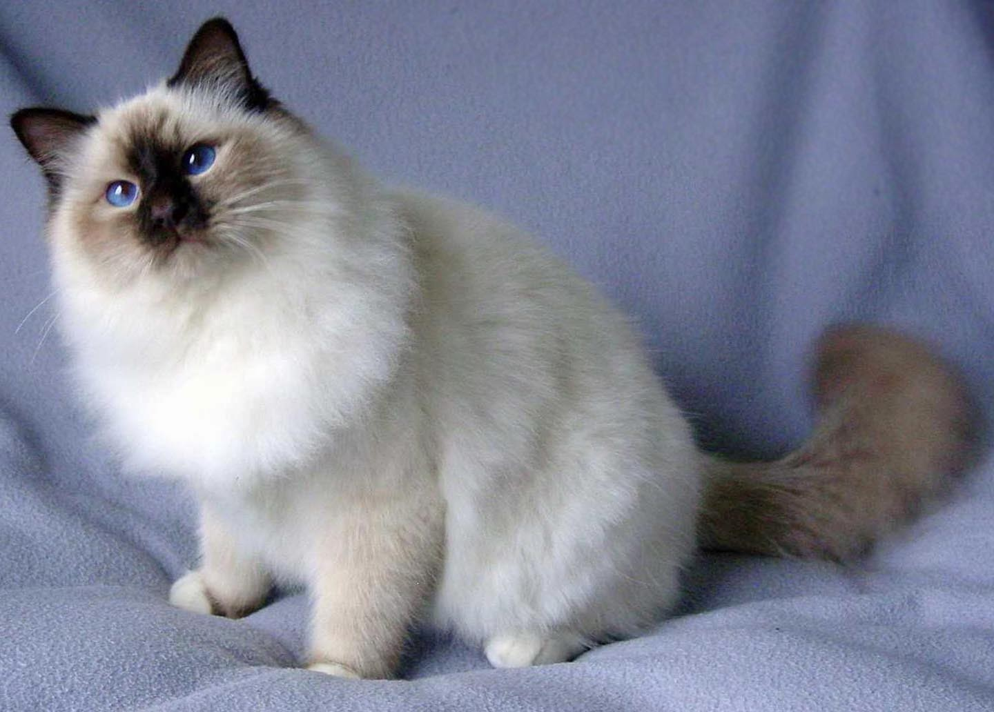 Top 5 Most beautiful Cat Breeds Explore Amazing World