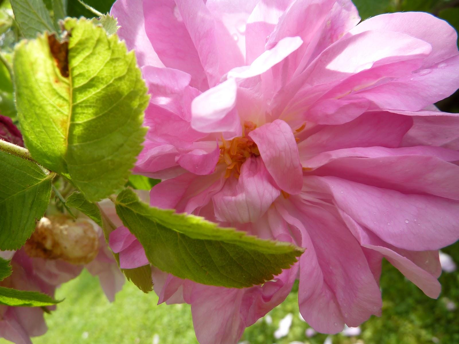 vivere aromapflege aromatherapie eine rose ist eine. Black Bedroom Furniture Sets. Home Design Ideas