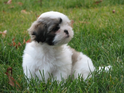 Shih Tzu Pictures and Wallpapers