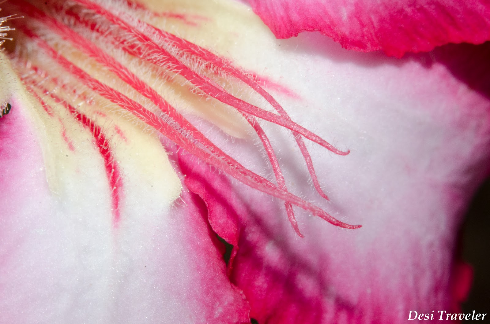 adenium flower closeup using macro photography