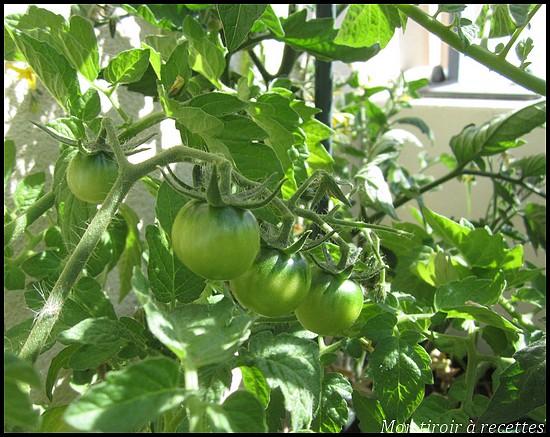 tomates plant
