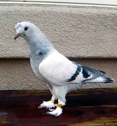 Feral pigeon Species page