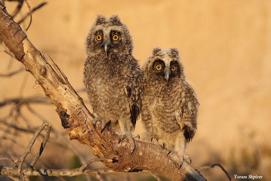 10. Long-eared Owl