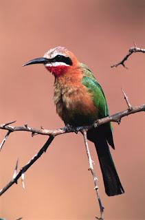 bird, oranye, burung perkutut, burung cantik, bulu indah
