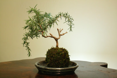 Rosemary Bonsai Trees