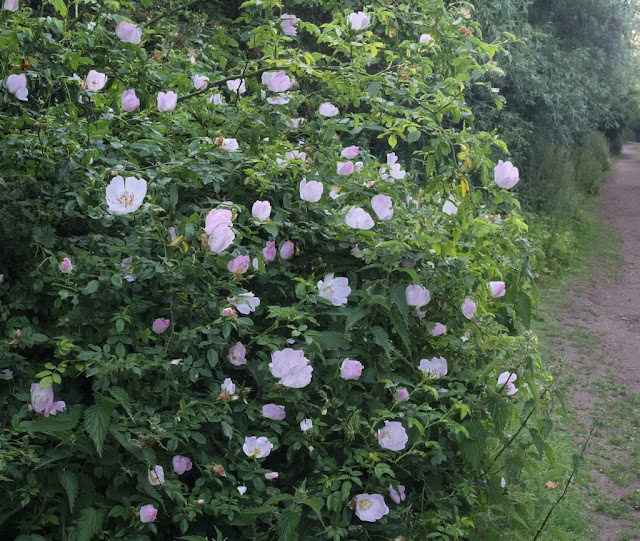 Bush of dog roses besides path