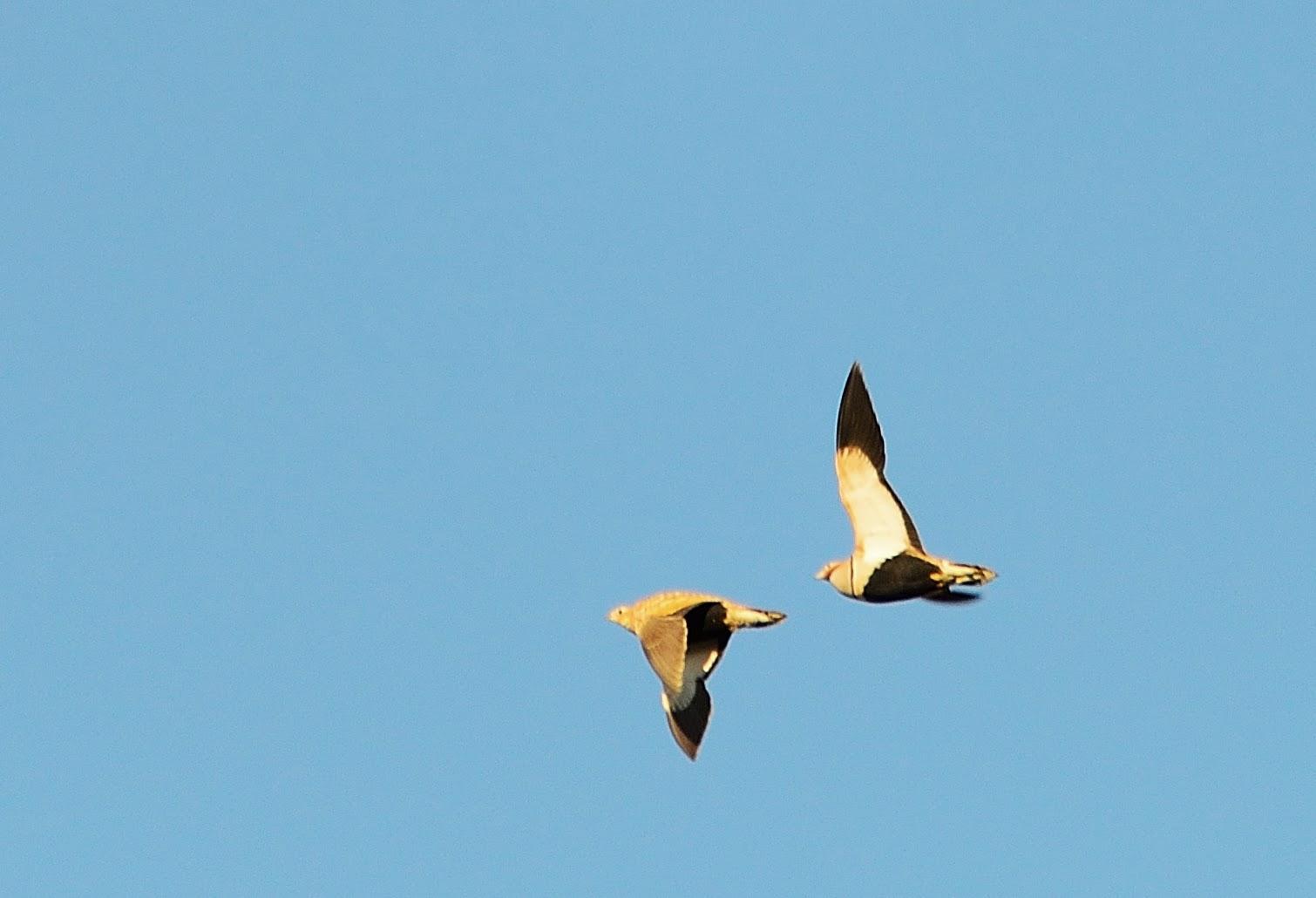 Excursión SEO/BirdLife a ZEPA del Alto Guadiato. Ganga Ortega