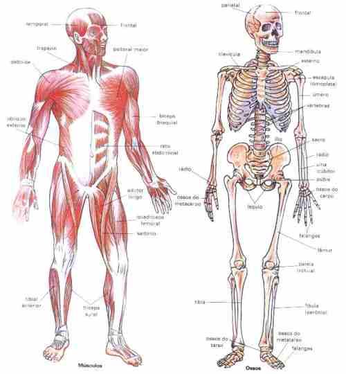 esqueleto de los musculo: