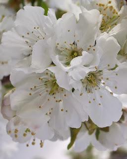 gambar pokok bunga sakura gambar musim bunga sakura