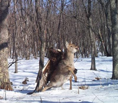 eagle attacks deer