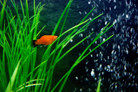 Platka - ryby akwariowe - 6