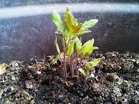 Pieds de bébé tomates, issus d'une tomate abandonnée par des vilains petits lapins malicieux