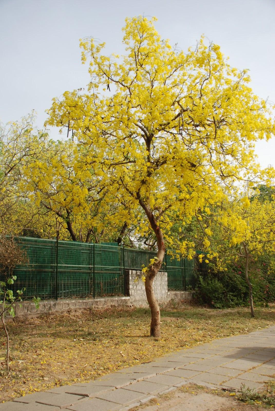 Cassia fistula Tree
