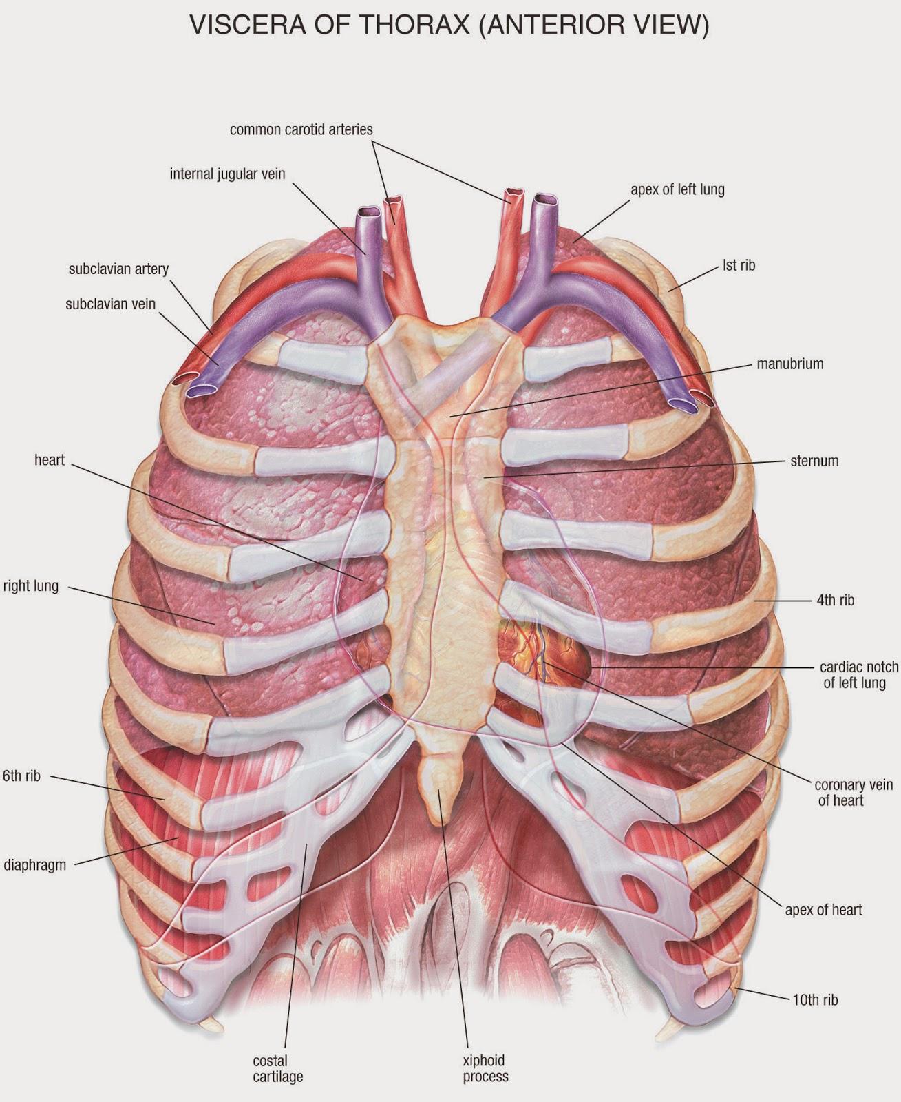 Diagram Heart Ribs - Basic Guide Wiring Diagram •