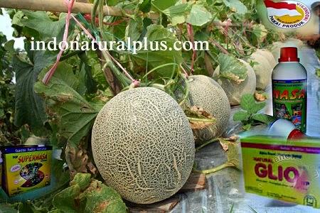 Budidaya Melon dengan Pupuk NASA