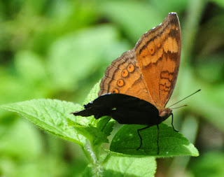 Brown Pansy (Junonia hedonia ida)