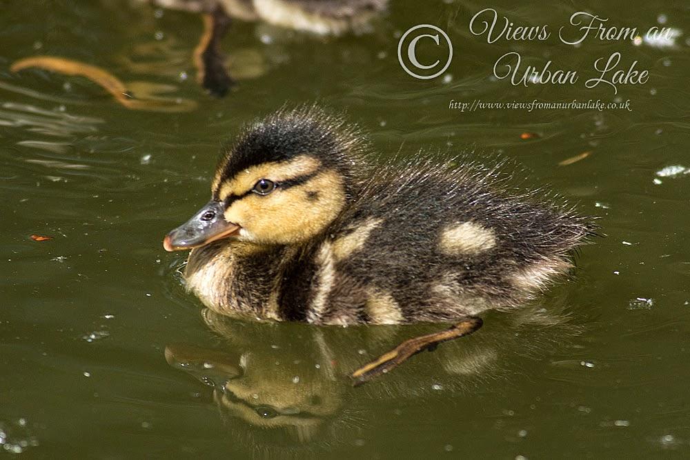 Duckling (Mallard) - Lodge Lake, Milton Keynes