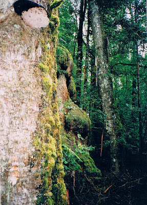 A face growing in an ancient, mossy tree