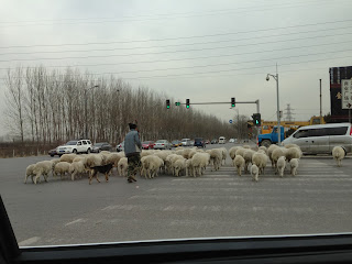 sheep in Shunyi