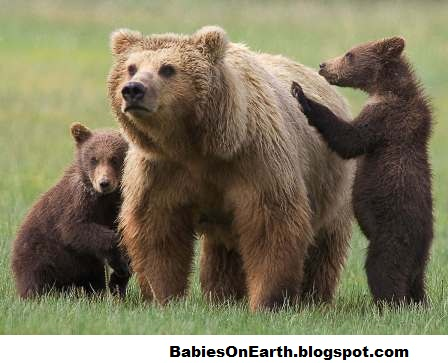 BABIES and Beautiful Mom: Baby Grizzly Bear