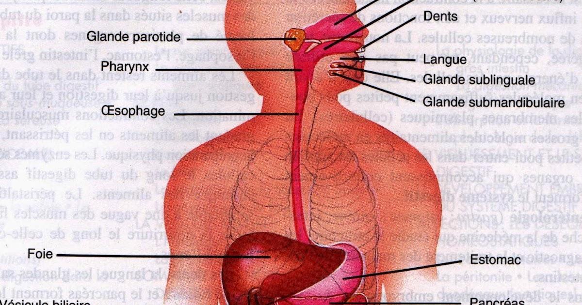 Interieur du corps humain 28 images encyclop 233 die for Interieur du corps humain