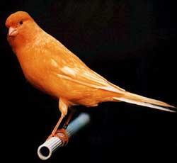 Ternak Burung Kenari Yorkshire