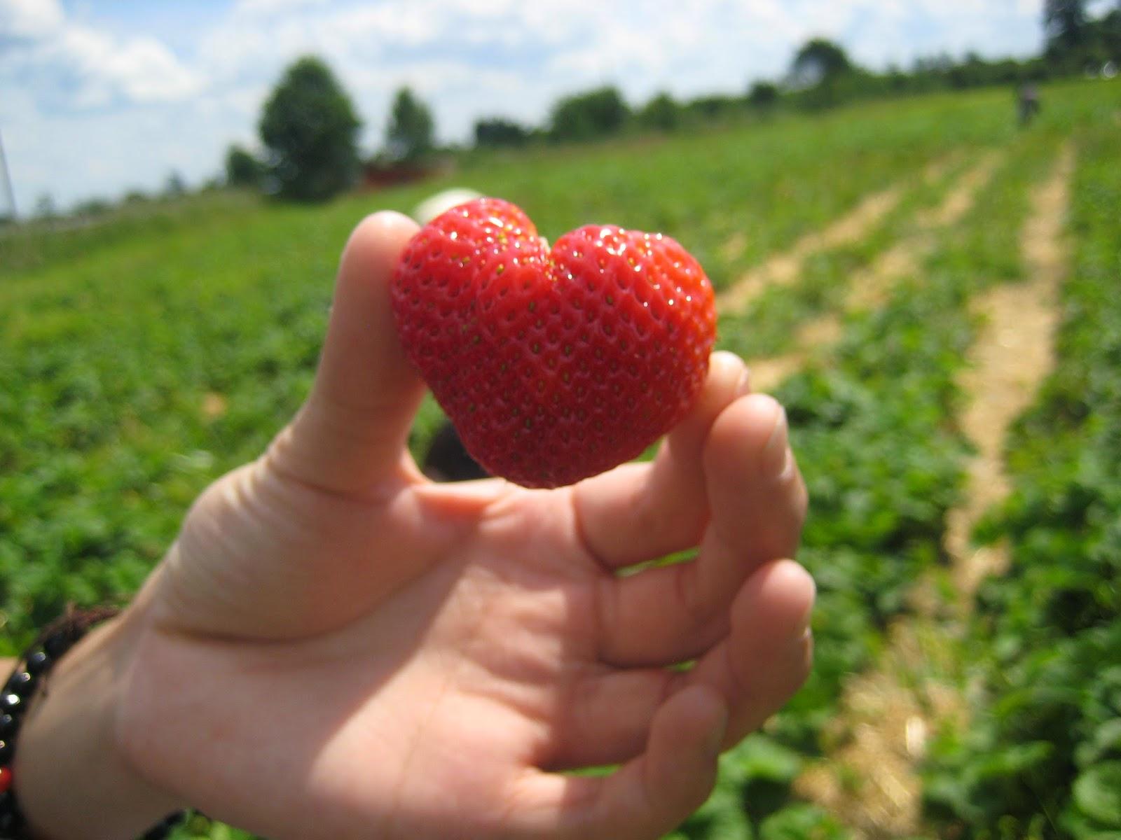 تحميل كتيب دراسة  جدوى لمشروع مشتل إنتاج فراولة