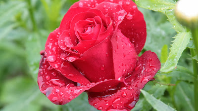 red purls rose wallpaper