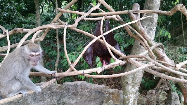 Monos y zorros Voladores en Alas Kedaton (Bali)
