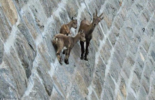 Kambing gunung Ibex