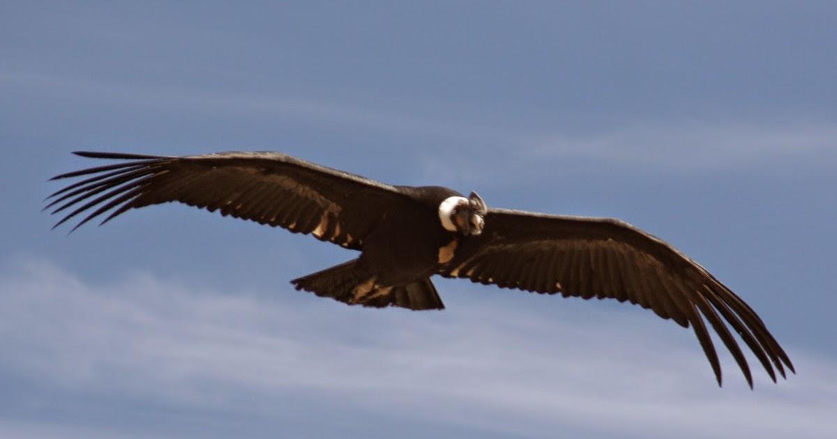 Filanaval animales en peligro de extinci n el condor for Colores condor
