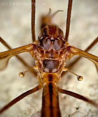Cranefly haltares (c) John Ashley