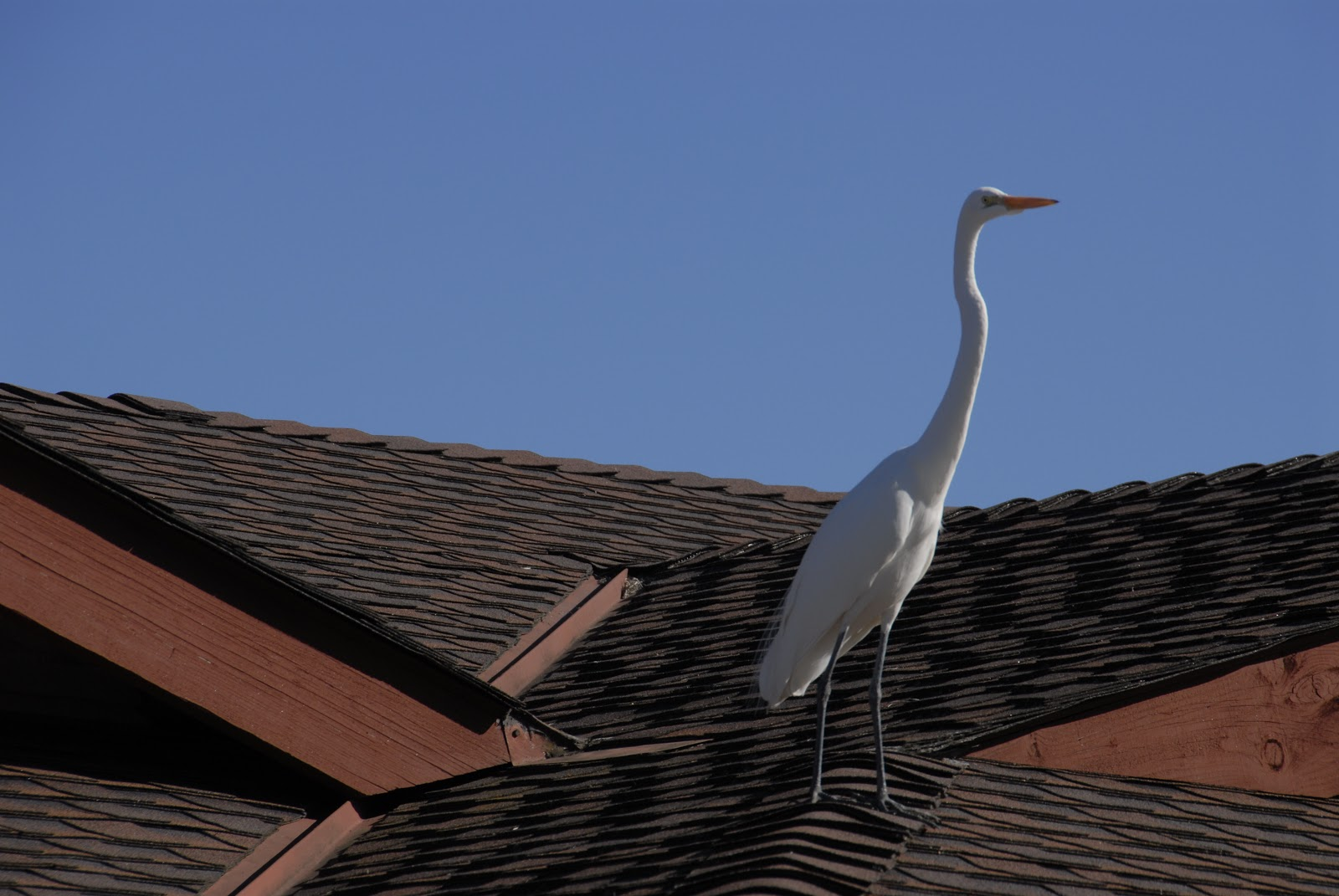 white egret on roof