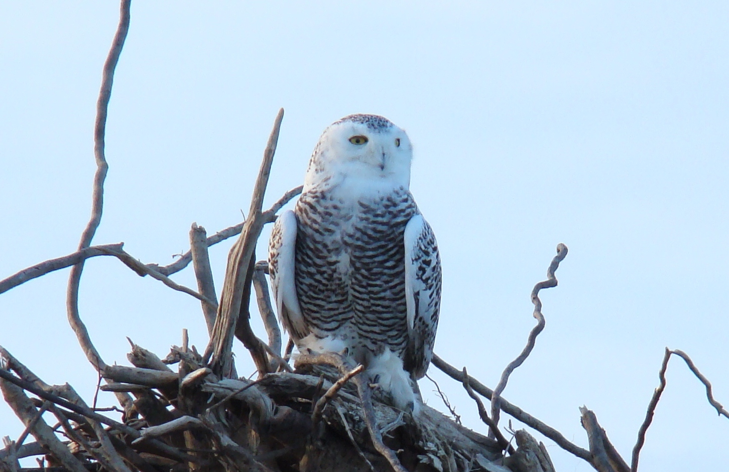Snowy Owl Sightings Island Beach State Park