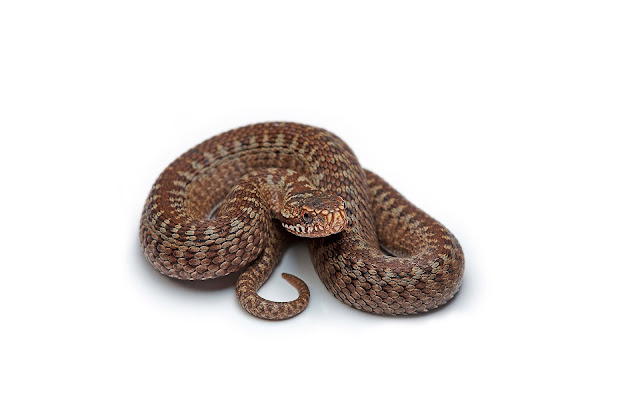 Wallpaper with a brown snake on a white background
