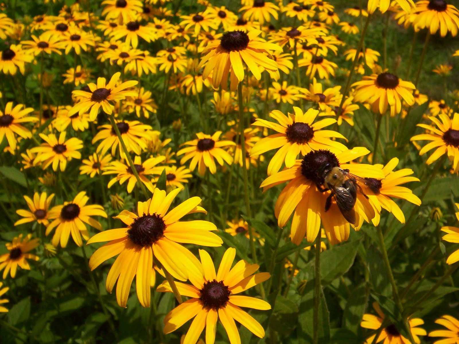 The turk horses handicapping and hijinks the nomination Black eyed susans