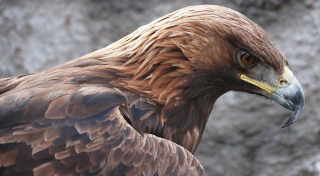 Shqiponja e Gurëve