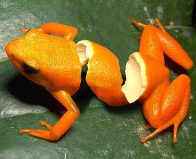 Fruty Frog
