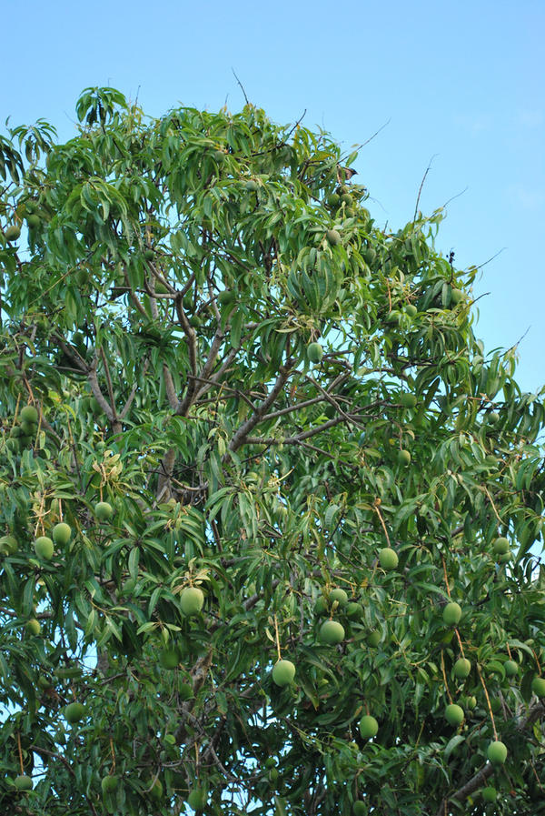 essay on autobiography of a mango tree