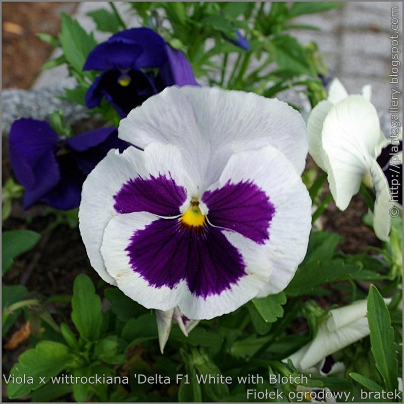Viola x wittrockiana 'Delta White with Blotch' - Fiołek ogrodowy, bratek  kwiat