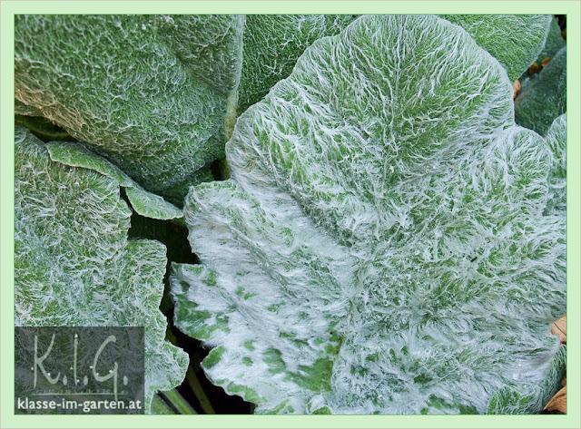 Die haarig-wolligen Blätter von Salvia argentea
