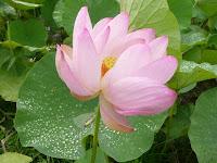 朝露の蓮葉と淡いピンク色のハスの花
