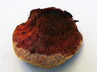 Gloeophyllum sepiarium